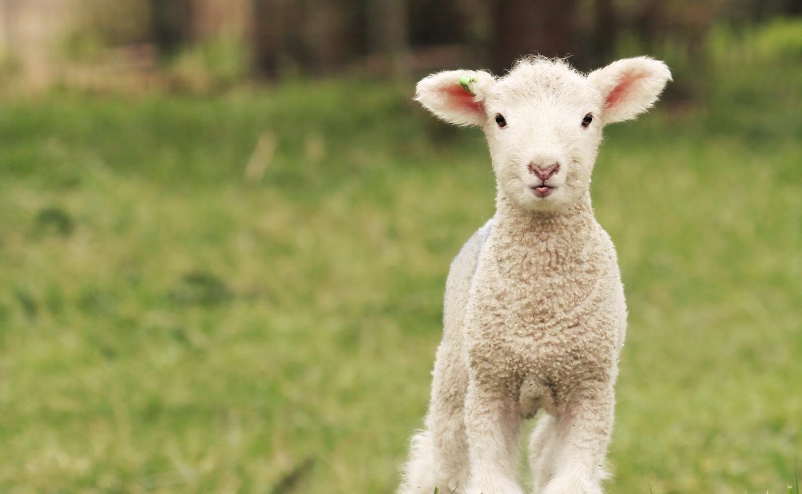 Bárányszépségverseny, titoktúra és Kaláka-koncert húsvétkor a Skanzenben