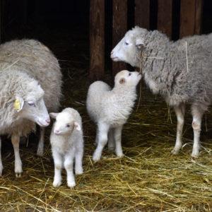 Bárányok születtek a Budakeszi Vadasparkban