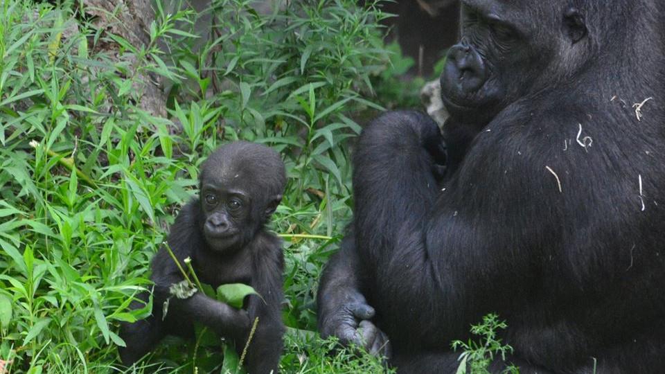 gorilla bébi a mamájával
