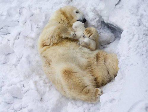 jegesmedve a kicsinyével fekszik