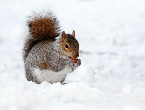mókus a hóban eszik