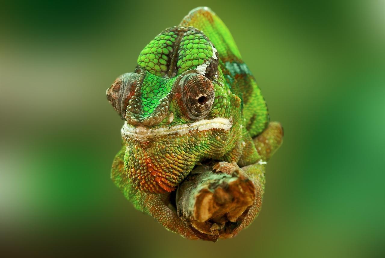 zöld kaméleon