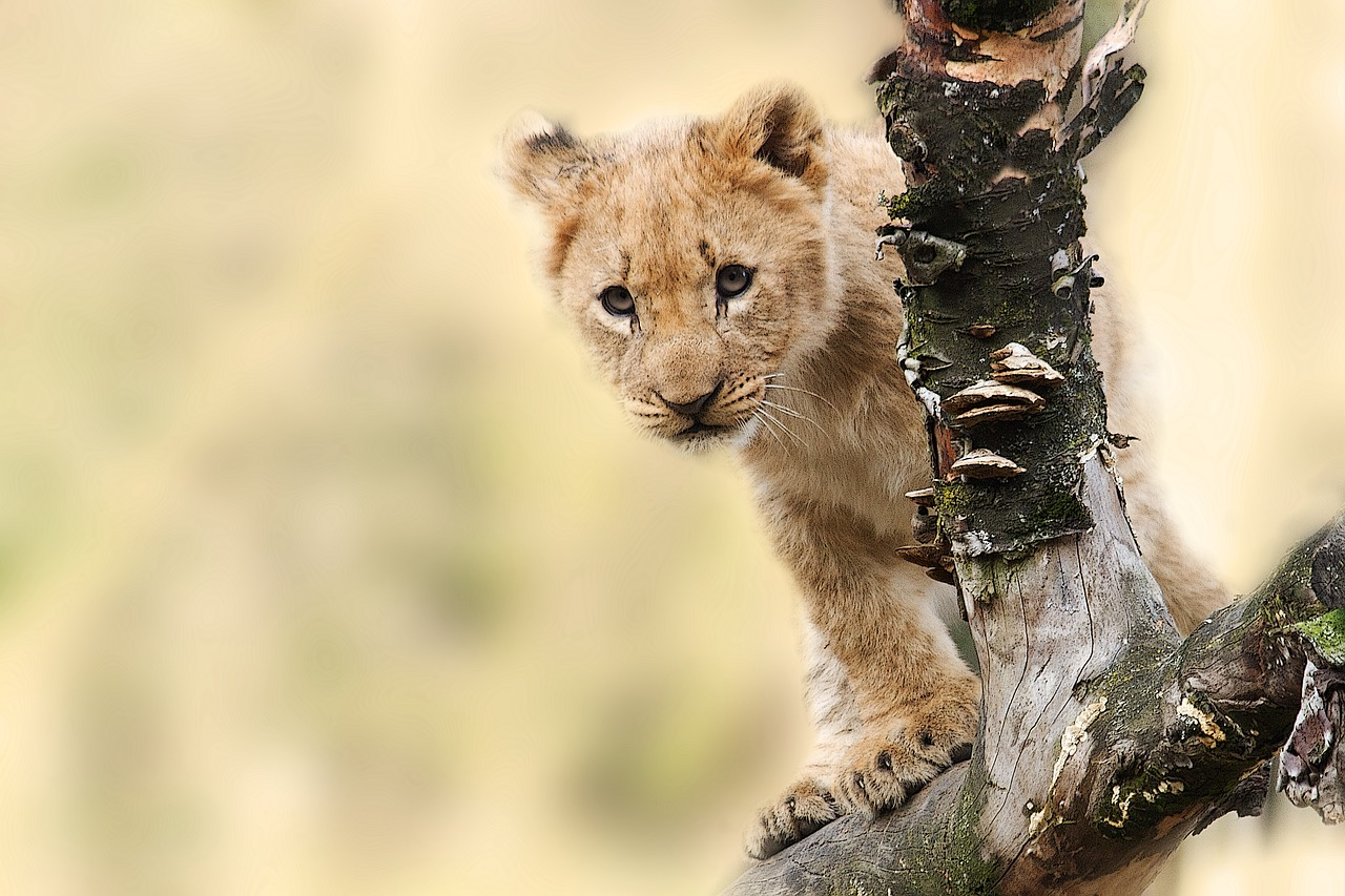 oroszlán egy faág mögött