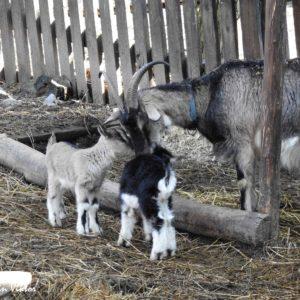 Kecskegidák születtek a Budakeszi Vadasparkban