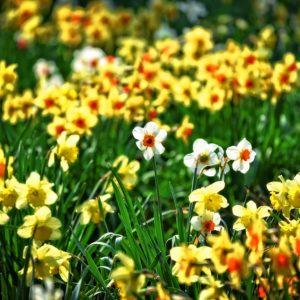 Virágzik a nárciszmező, nárcisznap is lesz