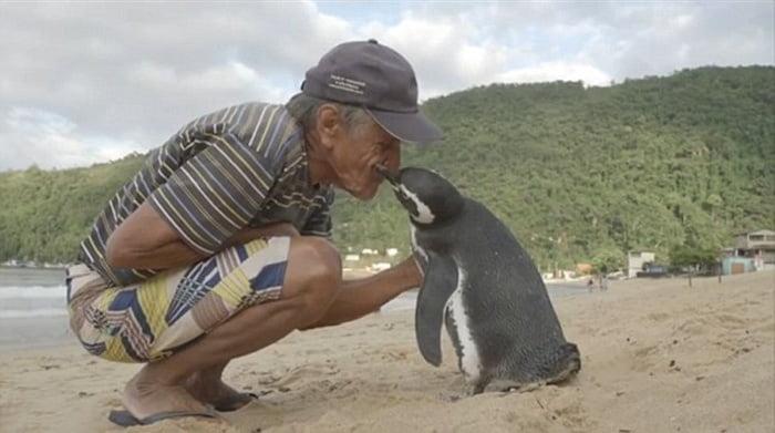 férfi pingvint puszil a strandon