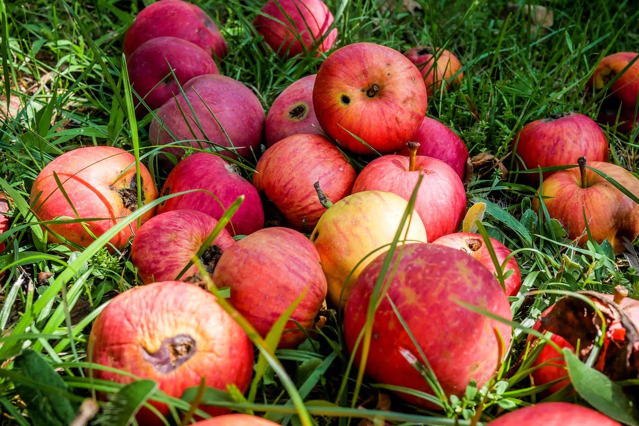 Kukacos almák a fűbe hajítva.