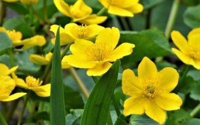 sárga gólyahír virág